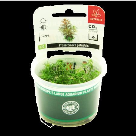 Proserpinaca Palustris - Plante en Pot In Vitro pour Aquarium