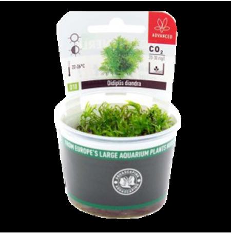 Didiplis Diandra - Plante en Pot In Vitro pour Aquarium