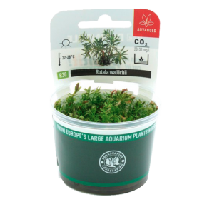 DENNERLE Rotala Wallichii, plante en pot pour aquarium