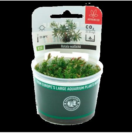 Plante pour aquarium dennerle rotala wallichii for Plante pour pot