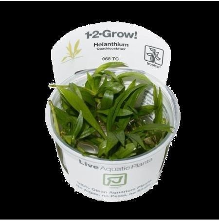 Helanthium Quadricostatus - Plante en Pot In Vitro pour Aquarium