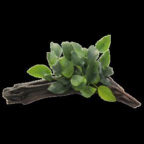 DENNERLE Anubias Nana sur Racine, plante en pot pour aquarium