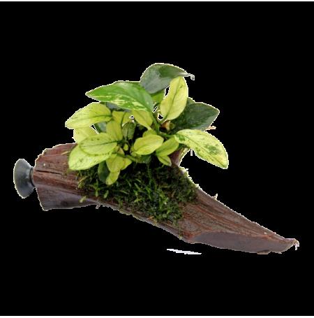 DENNERLE Anubias Pinto Nano sur racine à ventouse, plante pour aquarium