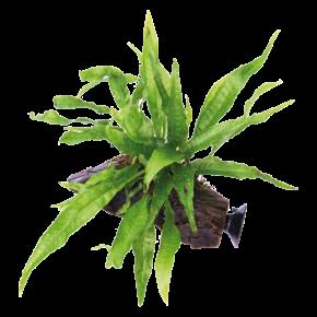 DENNERLE Microsorum Pteropus sur racine à ventouse