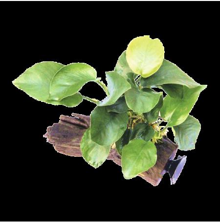 DENNERLE Anubias Barteri sur racine à ventouse, plante pour aquarium