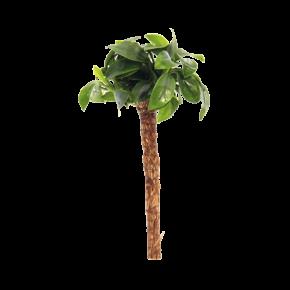 DENNERLE plante aquarium bonsai palmier avec anubia nana pour aquascaping