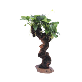 DENNERLE Arbre Mbuna moyen avec Anubias Barteri var. Nana, plante pour aquarium