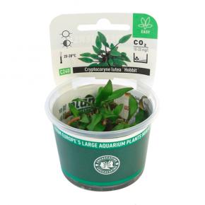 DENNERLE Cryptocoryne lutea Hobbit, plante en pot pour aquarium