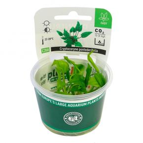 DENNERLE Cryptocoryne pontederifolia, plante en pot pour aquarium
