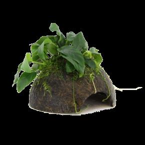 STOFFELS Anubias Nana sur Noix de Coco, plante pour aquarium