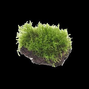 Vesicularia Dubyana sur Roche de Lave - Plante pour Aquarium