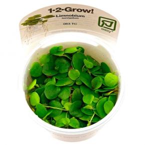 Limnobium laevigatum - Plante en Pot In Vitro pour Aquarium