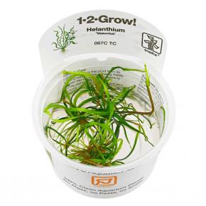 Helanthium 'Vesuvius' - Plante en Pot In Vitro pour Aquarium
