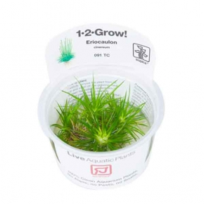 Eriocaulon Cinereum - Plante en Pot In Vitro pour Aquarium
