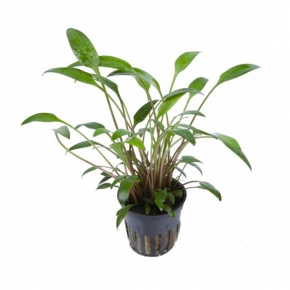 Cryptocoryne x Willisii - Plante en Pot pour Aquarium