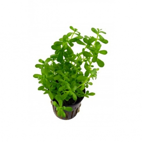 Bacopa Monieri - Plante en Pot pour Aquarium