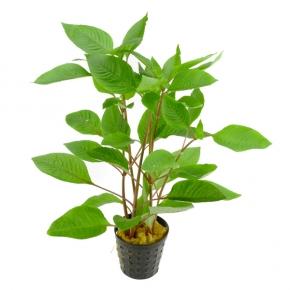Hygrophila Corymbosa - Plante en Pot pour Aquarium