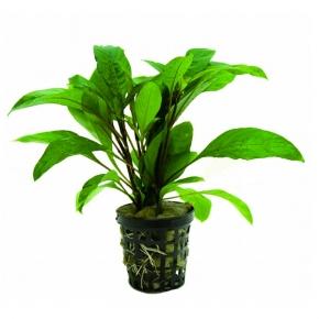 Hygrophila Guianensis - Plante en Pot pour Aquarium