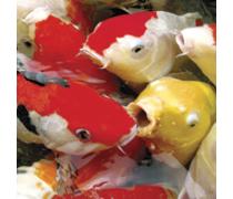 AQUATIC SCIENCE Ichi Food Summer Mini 2 kg