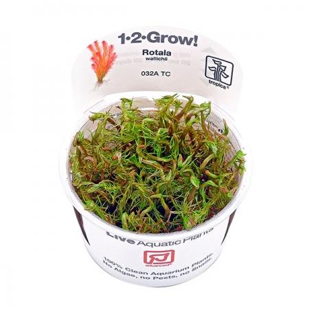 TROPICA Rotala Wallichii, plante en pot pour aquarium