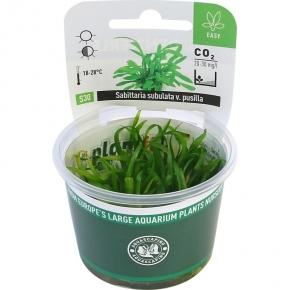 DENNERLE Sagittaria Subulata Pusilla, plante en pot pour aquarium
