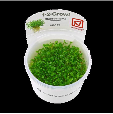 Glossostigma elatinoides - Plante en Pot In Vitro pour Aquarium