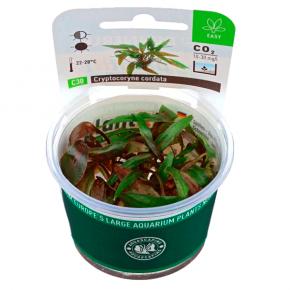 DENNERLE CryptocoryneCordata, plante en pot pour aquarium