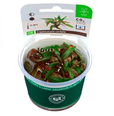 Cryptocoryne Cordata - Plante en Pot In Vitro pour Aquarium