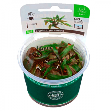 DENNERLE Cryptocoryne Cordata, plante en pot pour aquarium