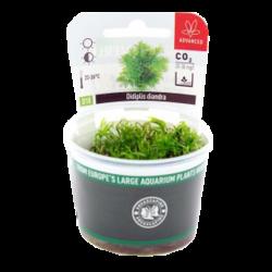 DENNERLE Didiplis Diandra, plante en pot pour aquarium