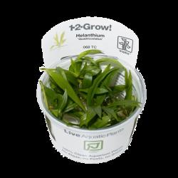 TROPICA Helanthium Quadricostatus, plante en pot pour aquarium