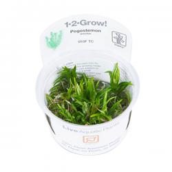 TROPICA Pogostemon Erectus, plante en pot pour aquarium