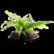 DENNERLE Microsorum pteropus sur Racine