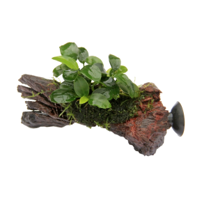 DENNERLE Anubias Bonsai Nano sur racine à ventouse