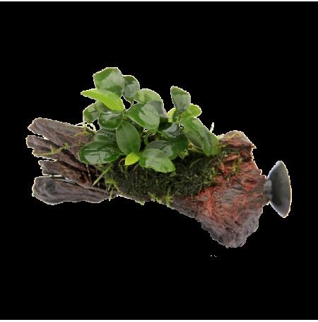 Dennerle anubias bonsai nano sur racine avec ventouse for Racine pour aquarium
