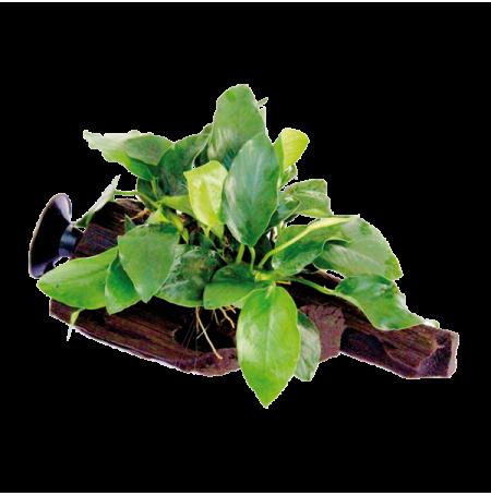 Dennerle plante aquatique anubias nana sur racine ventouse for Racine pour aquarium