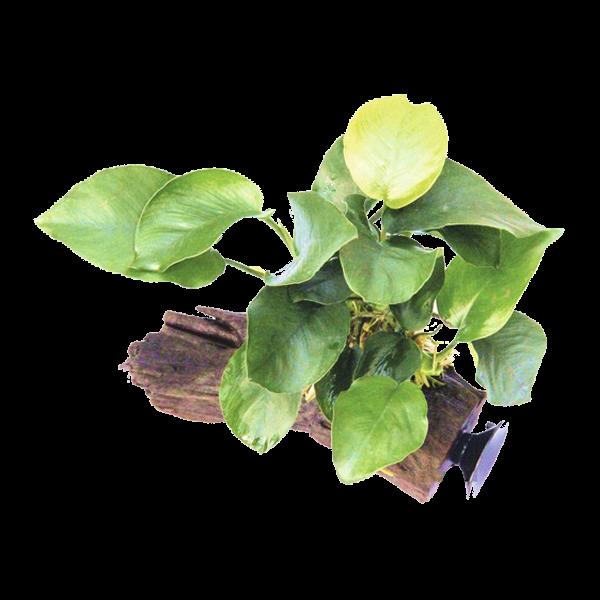 Dennerle plante aquatique anubias barteri sur racine for Plante pour aquarium