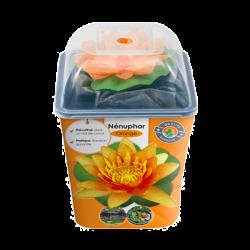 Nénuphar Précultivé - Orange