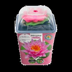 Nénuphar Précultivé - Rose
