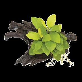 DENNERLE Anubias Nana Gold sur Racine, plante pour aquarium