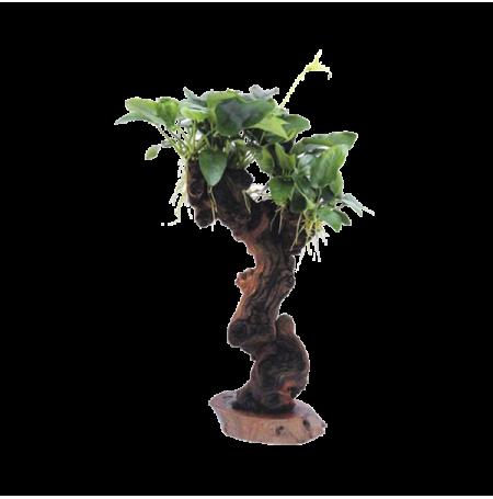 dennerle arbre mbuna moyen avec anubias barteri var nana. Black Bedroom Furniture Sets. Home Design Ideas