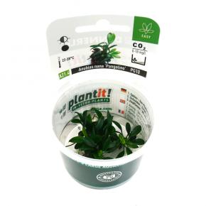 DENNERLE Anubias nana Pangolino, plante en pot pour aquarium