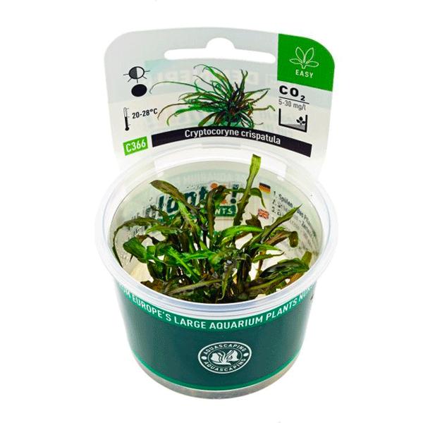 Plante pour aquarium dennerle cryptocoryne crispatula for Plante pour aquarium