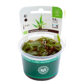 DENNERLE Cryptocoryne usteriana, plante en pot pour aquarium