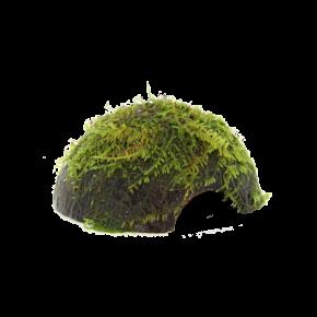 STOFFELS Vesicularia Dubyana sur Noix de Coco, plante pour aquarium