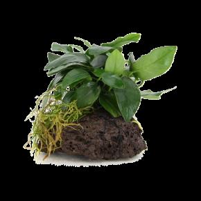 STOFFELS Anubias Nana sur Roche de Lave, plante pour aquarium