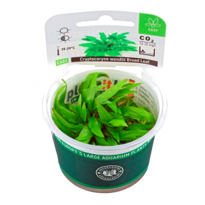 Cryptocoryne Wendtii Broad Leaf - Plante en Pot In Vitro pour Aquarium