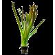 Vallisneria americana 'Gigantea' - Plante en Pot pour Aquarium