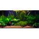 Aquarium planté et plantes Vallisneria americana 'Gigantea' en plante de fond