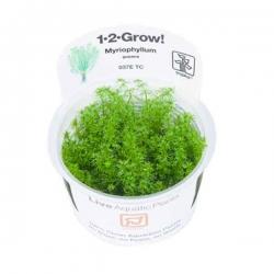 Myriophyllum Guyana - Plante en Pot In Vitro pour Aquarium